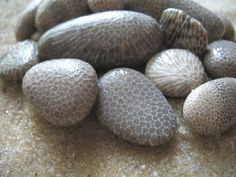 Charlevoix stones are also known as Favosite Coral is a type of petrified coral. They are a cousin to the Petoskey stone with chambers much smaller. Where you find one you can usually find the other.