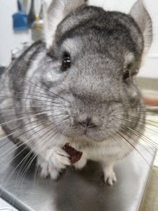Chinchilla Treats and Precautions - Dried Rose Hips, Rosemary, Parsley, Hibiscus, Apple, Papaya are some safe treats