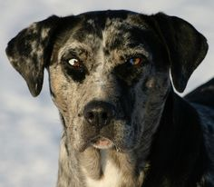 Catahoula Leopard dog with parti-colored eyes!