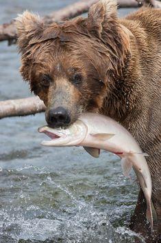 Coastal Brown Bears of Katmai National Park, Alaska [pics] - Matador Network