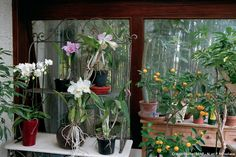 orchidées et oranger dans une véranda Piece A Vivre, Deco, Plants, Easy Plants To Grow, Tropical Plants, Backyard Farming, Flowers, Decor, Deko