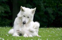 Pastor blanco suizo con su cachorro