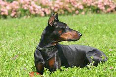 In generations past people believed that erect ears were key to improved hearing, so cropping a Doberman's naturally floppy ears was a common practice. But Dobermans have excellent hearing with or without ear cropping. You'll want to take special care of your Doberman pinscher's ears whether they're cropped or not.