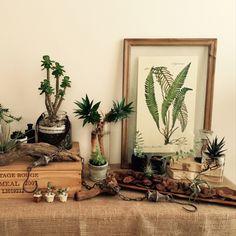 takeboo3さんの、棚,観葉植物,サボテン,多肉植物,ワイン木箱,流木,エアプランツ,水耕栽培,ポスターフレーム,NO GREEN NO LIFE,ボタニカル,のお部屋写真