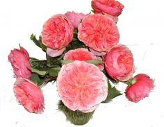 "German garden rose ""Chippendale"""