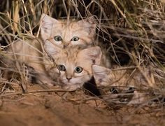 The first footage of sand cat kittens in the wild has been captured after four years of extensive research in Africa. Three sandy-coloured kittens aged between six to eight weeks old were spotted by conservationists in the Moroccan Sahara. It is thought to be the first time the elusive Sand Cat's young havebeen caught on camera.