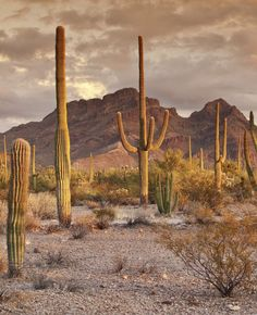 Organ pipe cactus and saguaros at Ajo Mountain Drive with Diaz Spire in distance at sunset, Sonoran Desert, Organ Pipe Cactus National Monument.