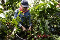 Picking ripe coffee cherries Throughout The World, Growing Plants, Cherries, Farmer, Sustainability, Coffee, Maraschino Cherries, Kaffee, Cherry Fruit