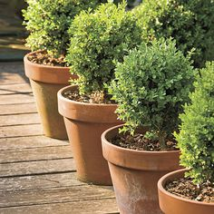 """Dwarf English boxwoods in 16"""" clay pots.  Cannot grow these in NY in pots.  Too cold.  But have 3 of them in the slope garden.  Had to transplant last year, did not like wet feet out front on pathway. They came back but had to prune back dead branches severely.  Prefer the well drained slope on west side. Love to find a way to plant them out front for evergreen color."""