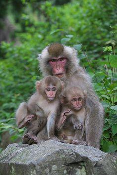 Mother and two babies by Masashi on Monkey Smiling, Jigokudani Monkey Park, Snow Monkey, Wild Animals Photos, Chimpanzee, Second Baby, Mans Best Friend, Old World, Baby Animals