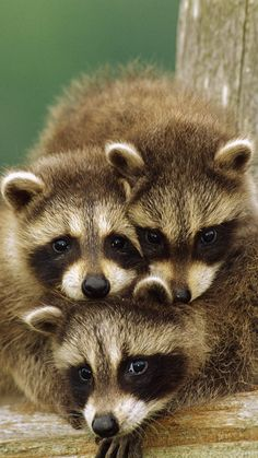 Beautiful baby raccoons.