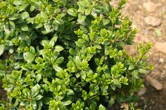Looking for a hedge or border shrub that will provide you with lovely green leaves all year? Dwarf Burford Holly is an excellent evergreen shrub with its glossy, pointed leaves and its bright red berries (in the Fall) are a delight for birds!