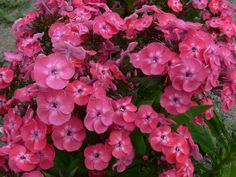 Garden Phlox Junior Dance