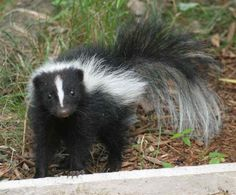 Skunks are highly adaptable little creatures and can survive in a variety of different habitats. Description from northrup.org. I searched for this on bing.com/images