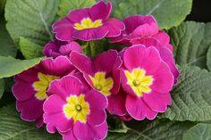 Risultati immagini per primula fiore