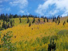 Quaking Aspens fill this hillside with gold in Flagstaff, Ariz. Facebook/Paul Alder