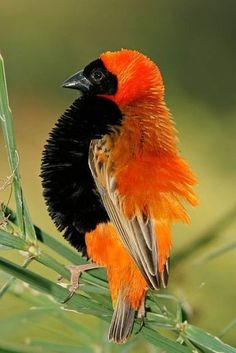 Image of displaying - 5049224 - Male red bishop bird stock photo. Image of displaying – 5049224 Male red bishop bird. (Euplectes orix) displaying with puffed feathers, South Af , Kinds Of Birds, All Birds, Cute Birds, Pretty Birds, Little Birds, Exotic Birds, Colorful Birds, Beautiful Creatures, Animals Beautiful