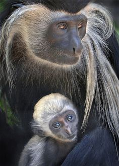 Angolan Colobus Monkey & Baby #animals