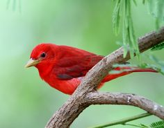 Summer tanager - Paradise of birds
