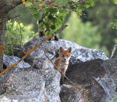 Fox Cub   June 2016   Photo: Irja Lehtinen Finland