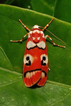 Arctiid Moth (Cyana coccinea, Lithosiini, Arctiinae) by itchydogimages, via Flickr