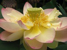 Lotus flower nelumbo nucifera lotus and flowers lotus nelumbo nucifera flower close 2048px floral emblem wikipedia the free encyclopedia mightylinksfo