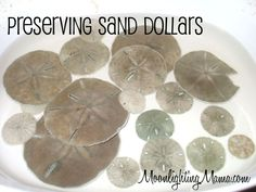 Cleaning & Preserving Sand Dollars:
