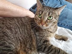 Pawsome Pet of the Week: Abby the Diabetic Cat | s via @pawsitivelypets
