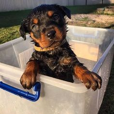 Before the bankers came and took charge of our money, the Rottweiler, a German dog breed, had already tasted what it is like to be the protector of money. Rottweiler Love, Rottweiler Puppies, German Rottweiler, German Dogs, Cute Puppies, Dogs And Puppies, Animals And Pets, Cute Animals, Funny Dog Pictures