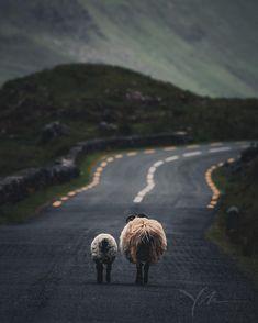 Irish sheep crossing the road. Shot w/ Nikon + VR II lens @ Ireland Country, Nikon Cameras, Nikon D810, Going Home, Vr, Countryside, Sheep, Irish, Lens