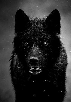Black, rain-covered wolf.