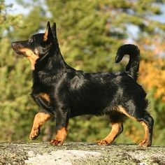 Lancashire Heeler | 21 Awesome Dog Breeds You've Never Heard Of And Need To Know About Immediately