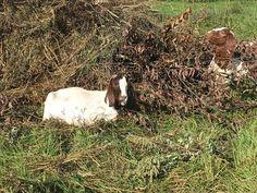 Самая обожаемая бурскими козами вещь – Козья Ива. Так называется дерево. Если по научному (латыни), то Козеус Ивус, если по козьи, то Ме-ее-ус Зашибитус. Как его уплетают бурские козы можно поглядеть здесь: Но это так, решила сделать небольшое отступление. На само Cute Goats, Animals, Animales, Animaux, Animal, Animais