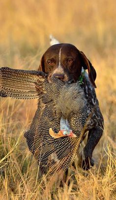 German Shorthaired Pointer Pup