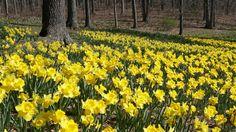 Meriden Connecticut, Iphone 6 S Plus, Background S, Daffodils, Oc, Wallpapers, Park, Plants, Wallpaper