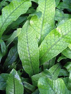 Microsorium musifolium Crocodyllus (Crocodile Fern). Each leaf is marked with puckers and segments making it look like Crocodile skin. Shade.