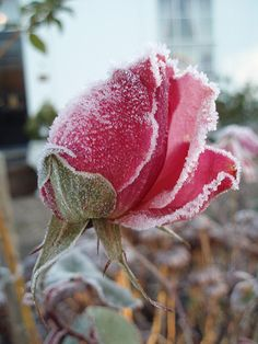 On A Cold And Frosty Morning – Winterbilder Amazing Flowers, Love Flowers, Beautiful Roses, Winter Plants, Winter Garden, A Touch Of Frost, Frozen Rose, Winter Scenery, Winter Beauty