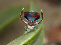 Cortejo de una araña pavo real (Maratus)