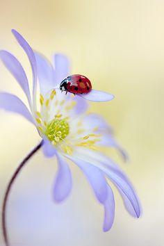 Buenos días.  Lady in Lilac
