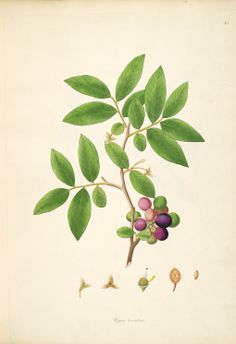 v.1 - Plants of the coast of Coromandel :published 1798 for the East India Company - Biodiversity Heritage Library