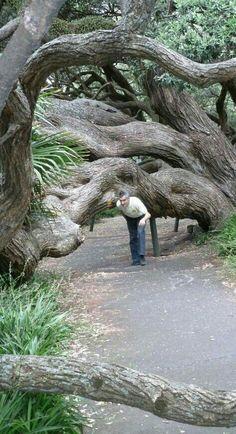 ¿Que decidió a este árbol a crecer de esa manera?