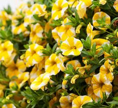 Superbells Lemon Slice Calibrachoa- love this plant- yellow and white flowers are so cute!  Grows very well with no fuss.
