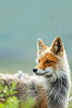 Such a gorgeous coloured fox!