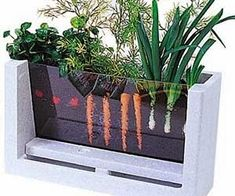Seems easy enough to build a small planter with a plexiglas front. Should be added to urban garden projects to educate and entertain young and old alike.