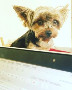 Don't neglect me. Stop working and come and play . . . . . .  #humpday #yorkiesofinstagram #networkexplosion #magentamascot #greenbeetlebranding #letsplay #socialmediamarketing #crazycolleagues #marketingautomation #puppylove #brandingstrategy