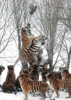 """Büyük kediler""""Endangered Siberian tigers try to reach for a wild bird that was tossed in by the game ranger and flew out of their reach at the Harbin Tiger Park in Harbin, China."""" Photo by Ng Han Guan - AP. (Photo in the slide show. Animals And Pets, Funny Animals, Cute Animals, Wild Animals, Baby Animals, Nature Animals, Beautiful Cats, Animals Beautiful, Majestic Animals"""