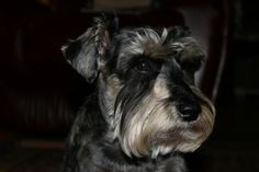 One of my schnoodles...cute guy!