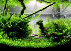 A Guide to Advanced Aquascaping:  Aquascaping is a learned art form that allows you to create an underwater landscape.  Inspiration for many works come from both underwater locations & natural scenes such as mountains, jungles, deserts, waterfalls & many others.