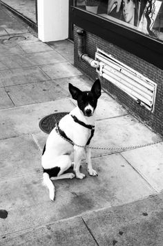Black and white dog in the streets of Geneva Black And White Dog, White Dogs, Geneva, Rue, Street Photography, Boston Terrier, Animals, Photography, Boston Terriers