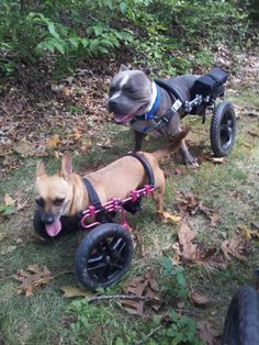 Willa and Beau hiking in their dog wheelchairs